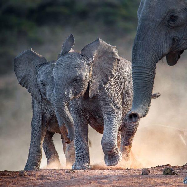 Young african elephants racing toward the water.